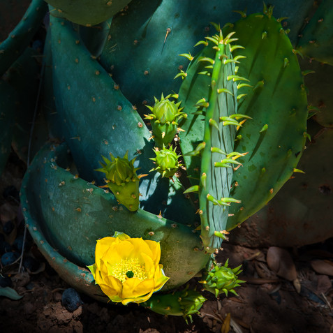 Cactus Flower - Scottsdale