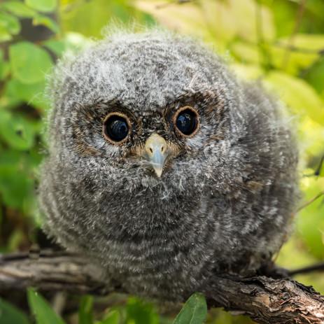 Fledgling Sawwhet Owl - Battlement Mesa, Colorado