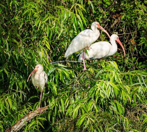 White Ibis Trio - Big Cypress National Preserve, Florida