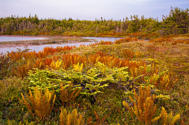 The Bogs of the Southern Avalon Penisula in Fall Color - Near Trepassey, Newfoundland