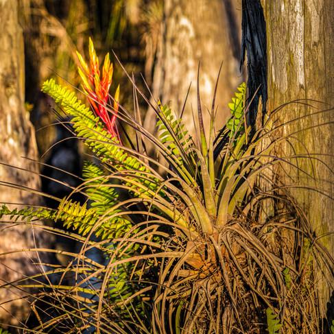 Cardinal Bromeliad at Sunset - Tillandsia fasciculata var. densispica - Big Cypress National Preserve, Florida