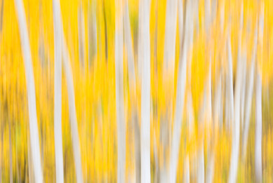 An Exaltation of Aspen - Grand Mesa National Forest, Colorado