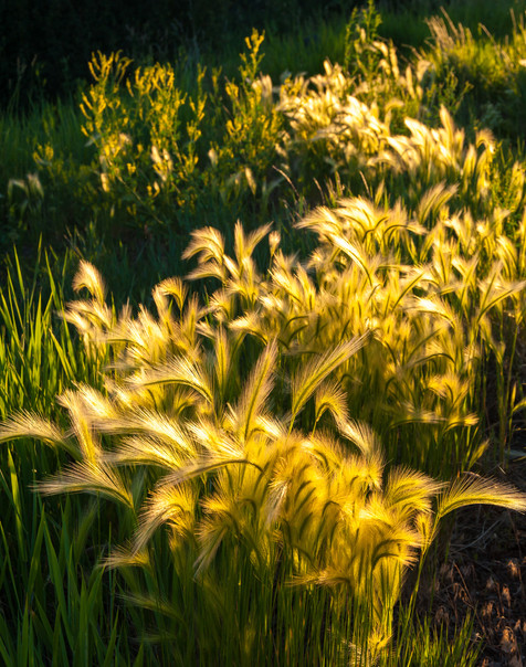 Summer Grasses Abstract - Colorado