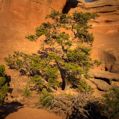 Cedar Tree and Red Rocks - Colorado National Monument, Colorado