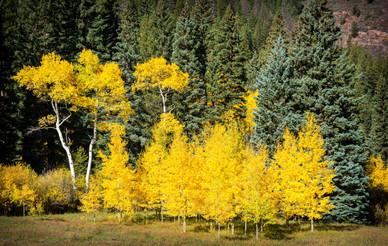 Aspen and Spruce - Sylvan Lake State Park, Colorado