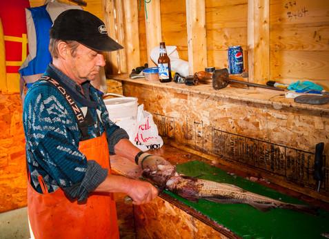 Fisherman John Walsh Filleting the Morning Cod Catch - Cape Broyle, Newfoundland