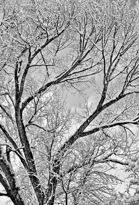 Winter Cottonwood Abstract - Edwards,
