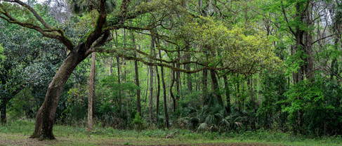 Forest Panorama - Alexander Springs, Florida