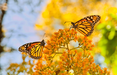 Monarch Butterfiles in the El Roasario Butterfly Biosphere Reserve -  Michocan, Mexico