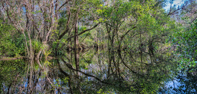Panoramic Reflections of a Gator Hole - Big Cypress National Preserve, Florida