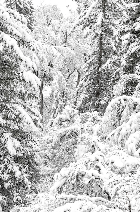 Winter in the Deep Forest - Hummingbird Knob, Colorado