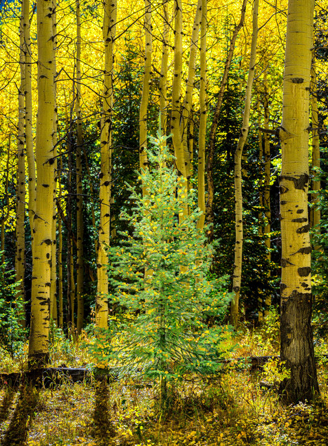 Early Christmas Tree with Ornaments - Grand Mesa National Forest, Colorado