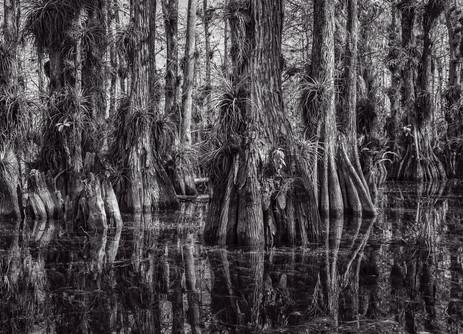 Cypress Dome Black and White - Big Cypress National Preserve, Florida