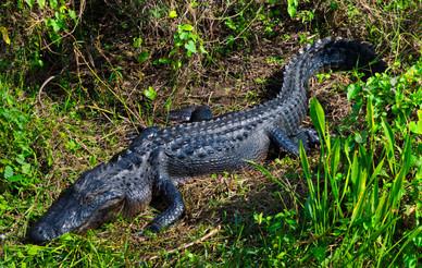 One Big Gator - Everglades National Park, Florida