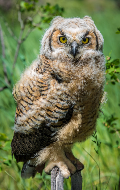 One Day Fledged - Great Horned Owl - Western Colorado