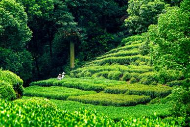 Tea Pickers - Longjing Tea Plantation - Hangzhou, Jiangsu, China