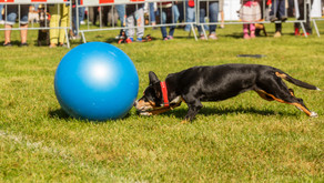 Treibball: Your Herding Dog's Favorite Sport!