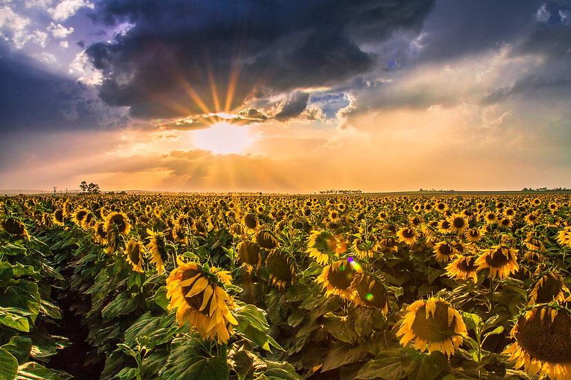 Sunflower Sunsets