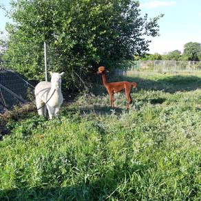 Geschoren alpaca's