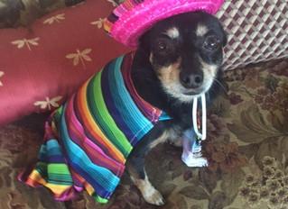 Ahh, Chihuahua!