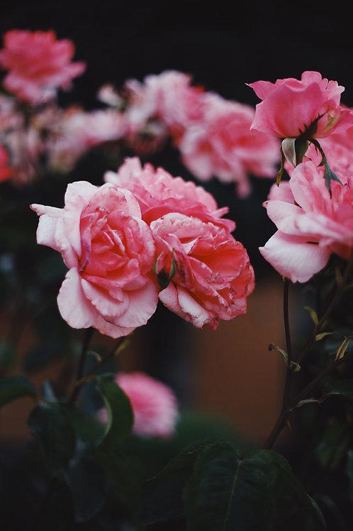 "POSTCARD ""Rose"""