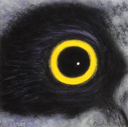 Long-eared Owl (immature)