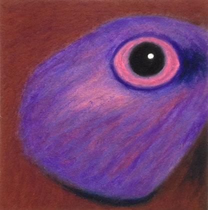 Violet-eared Waxbill