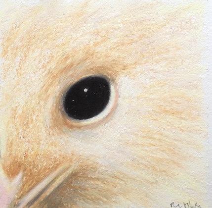 Brown Kiwi (white)