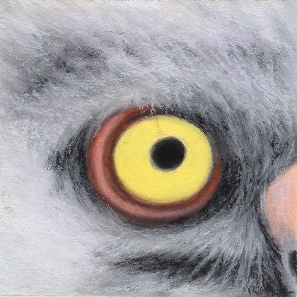 Eastern Screech Owl (chick)