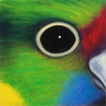 Barnard's Parakeet
