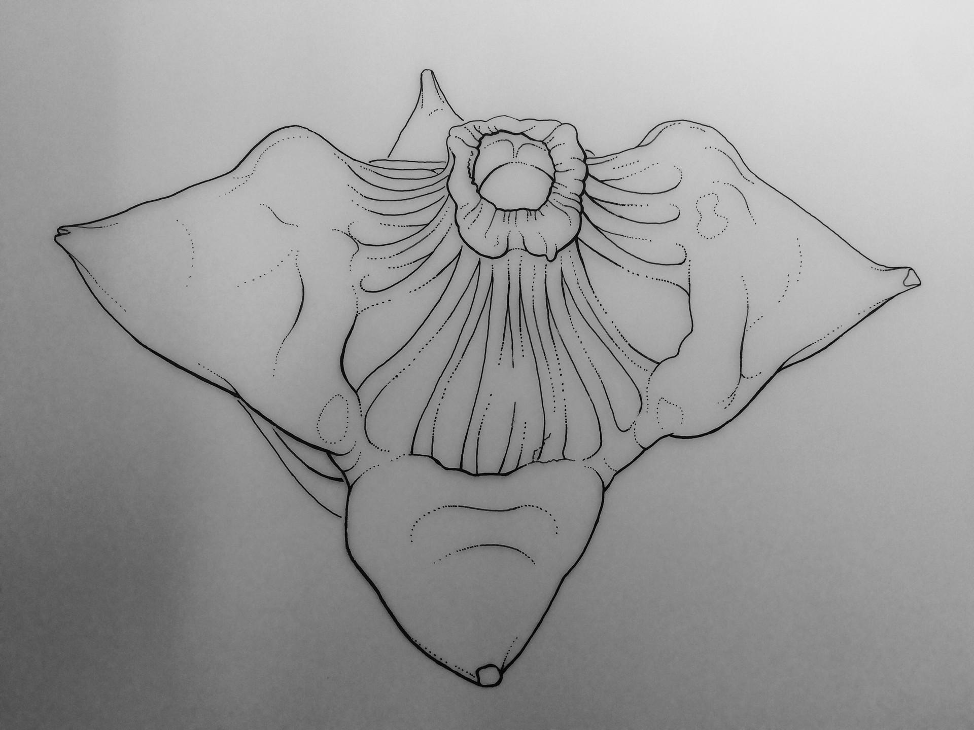 Water caltrop seed, linework