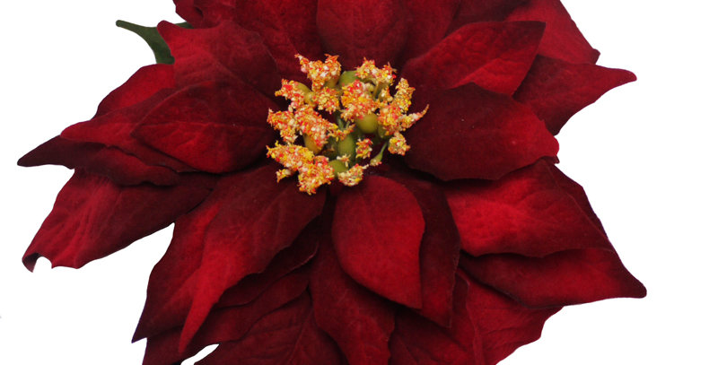 XL Velvet Poinsettia Hair Flower