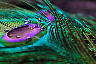 micro peacock feather HD image,best tex