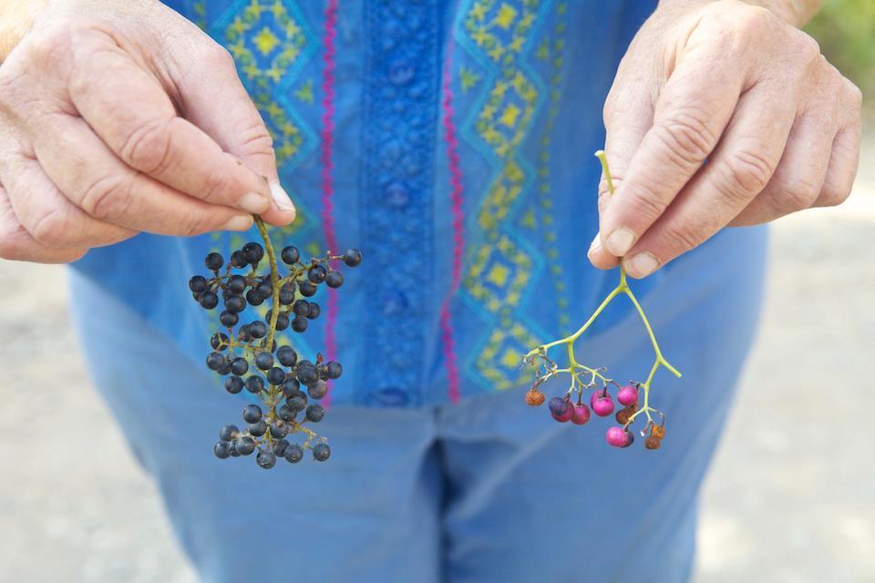 Grape+vs+porcilian+berry
