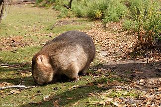 Maria Island Wombat (DSC03093) Watermark
