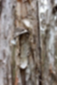 Narawntapu National Park - Tee Tree Bark