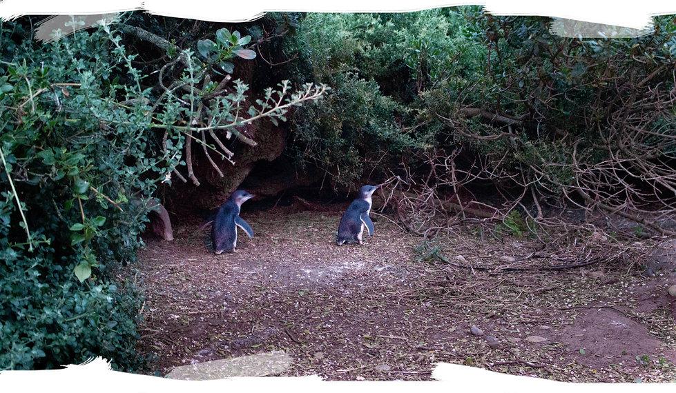 Little Penguins Lillico (IMG_3473) PS Br