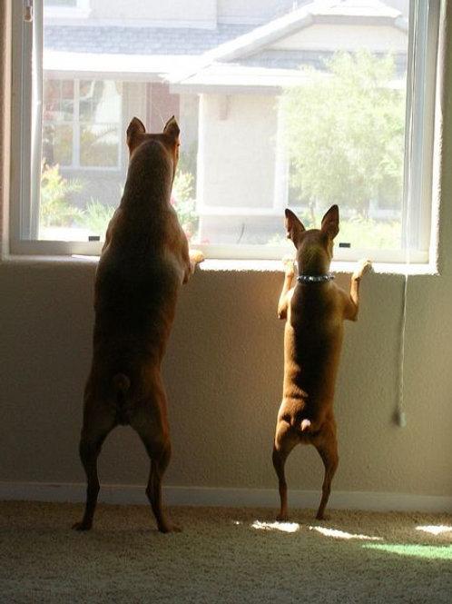 Alert Barking At Home