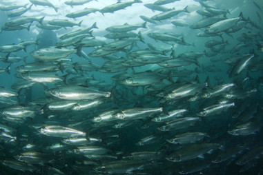 A large flock of salmon swims forward..j