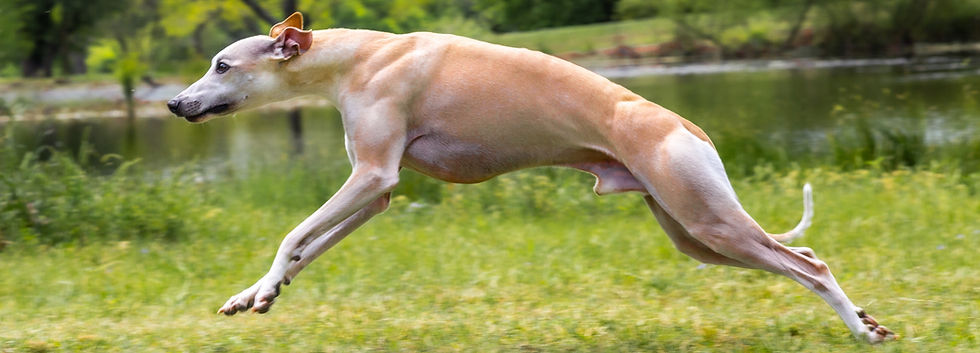 Whippet Jumping