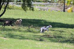 Dogs on open field