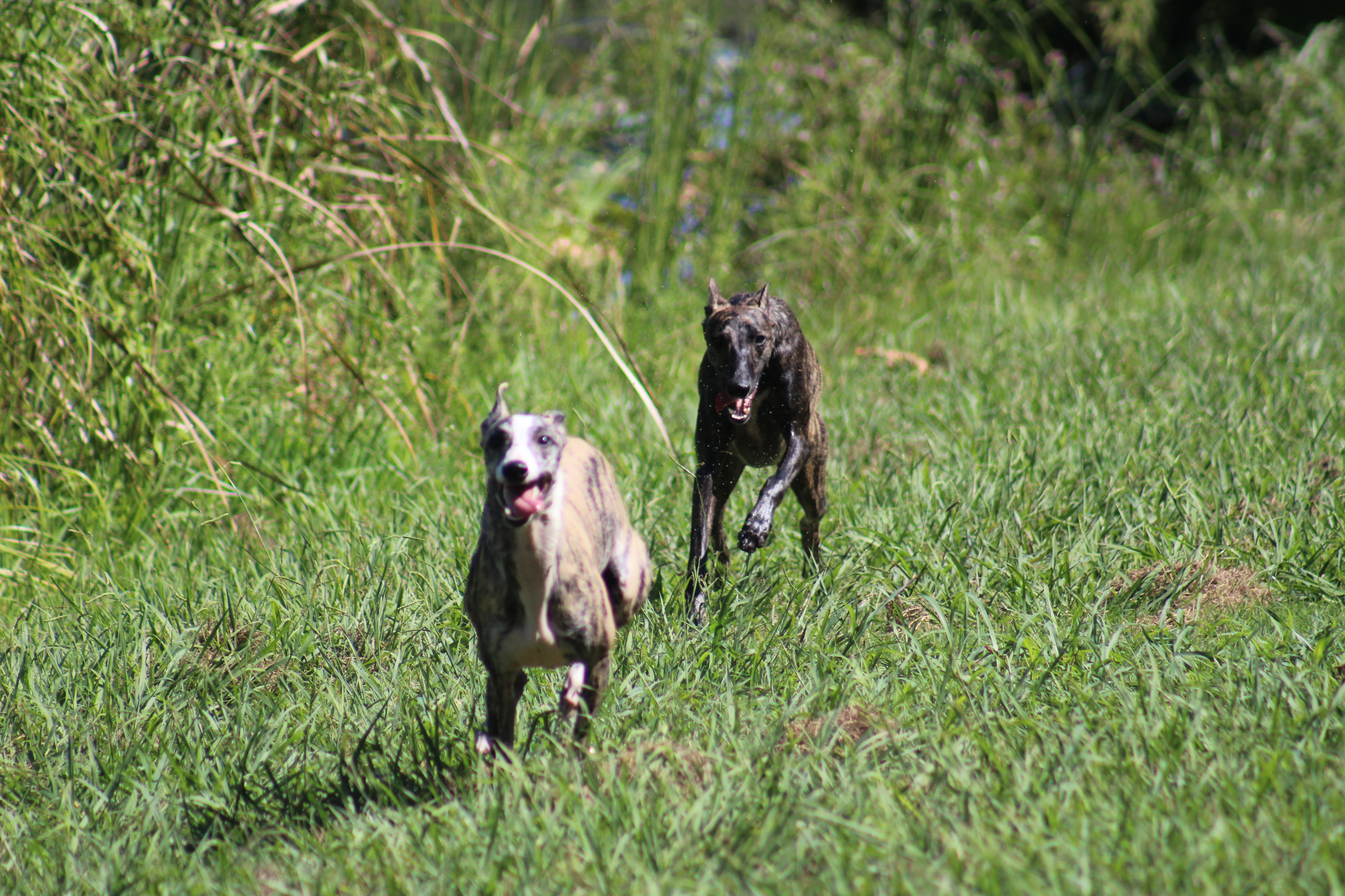 Whippets running