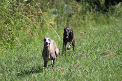 Whippets running