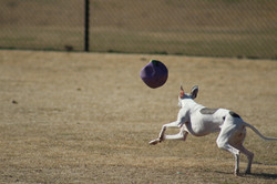 Whippet playing