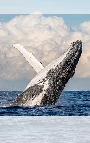 Les baleines exvursion samana
