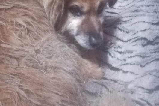 pies starszy znaleziony 11.2020