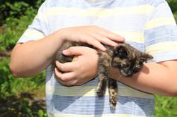 Koteczka szylkretowa