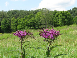 Ironweed-in-meadow