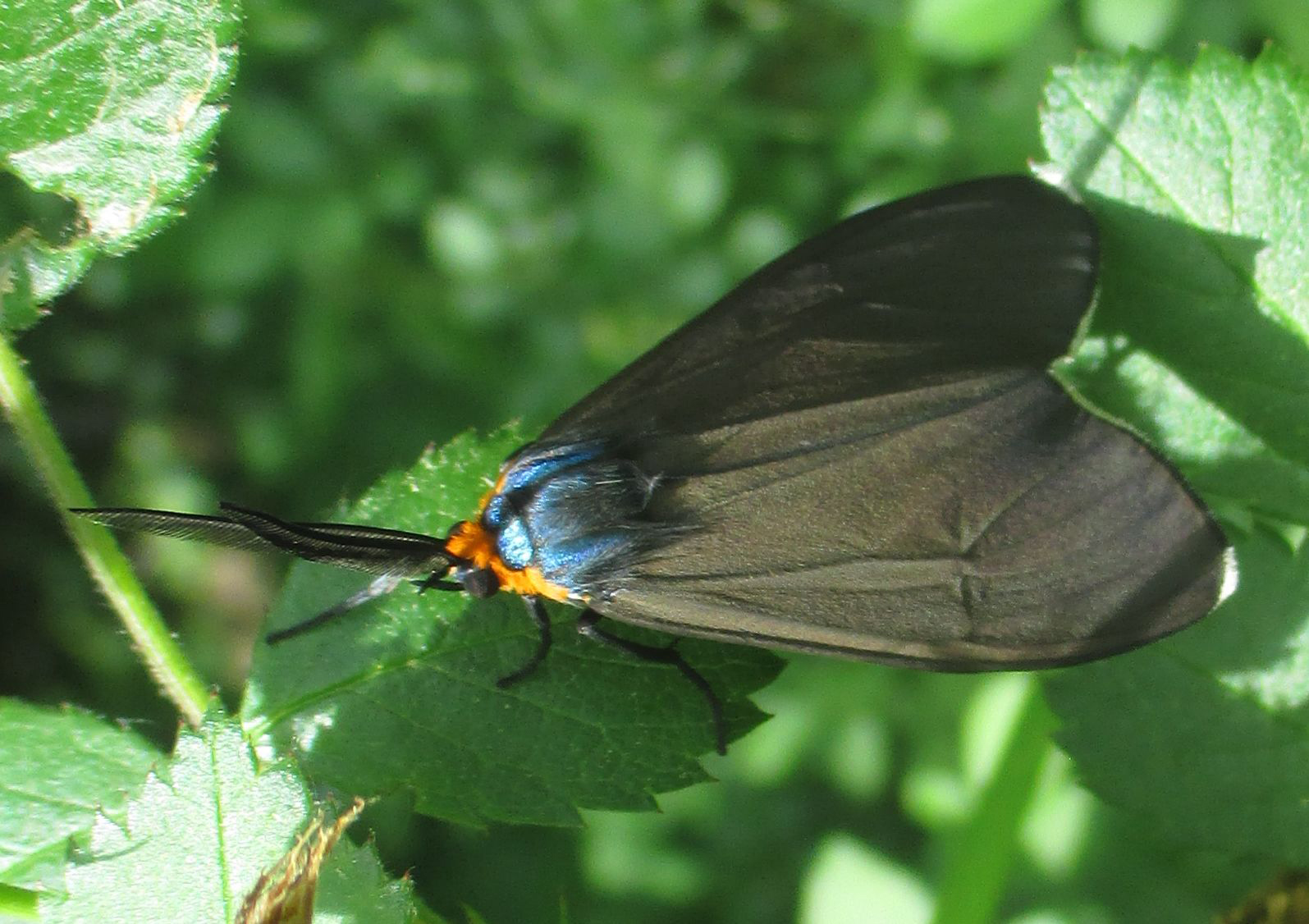 Virginia Ctenucha WMP
