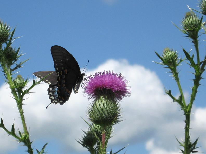 Bull-thistle-pollinator